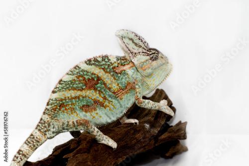 Keuken foto achterwand Kameleon Chamaeleo calyptratus