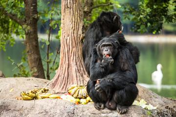 chimpanzee in  chiangmai-nightsafari chiangmai Thailand