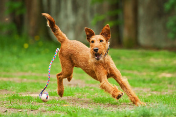 Irish terrier playing with ball