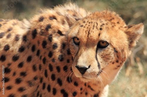 In de dag Luipaard ghepardo