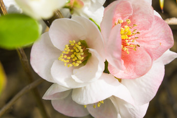 blossom[japanese_quince]_37