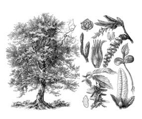 Tree : Hornbeam - Charme - Hornbaum