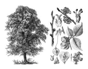 Tree : Elm - Orme - Ulme