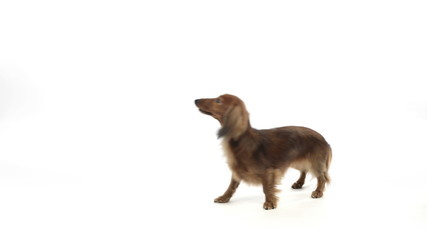 Dachshund walking backwards