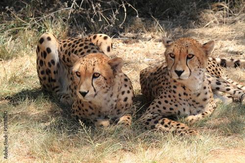 Tuinposter Luipaard ghepardo