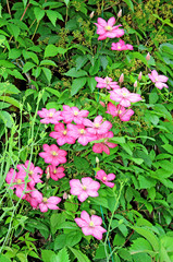 Several flowers of pink clematis