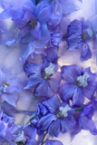 Background of   delphinium flower frozen in ice
