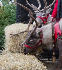 Santa's Reindeer.