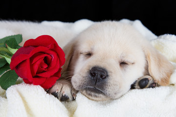 Labrador puppy sleeping on blanket with red rose