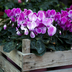 pink cyclamen in wooden box for saling
