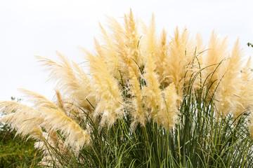 goldene weiche hohe gräser am meer im sommer