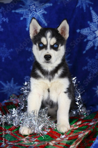 Siberian Husky Puppy With Wrapping Paper and Tinsel II