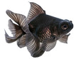 Black  Goldfish on White - 59004591