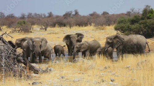 Group of Elephants drink at a waterhole in Etosha