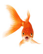 Gold Fish on White Background - 59004949