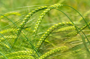 Green ears of barley closeup