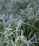 White hoarfrost on green grass