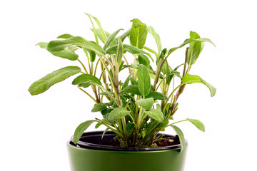 erba salvia in vaso - sage herb plant