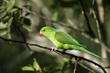 Plain parakeet, Brotogeris tirica