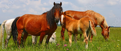 Foal with a mare on a summer pasture.