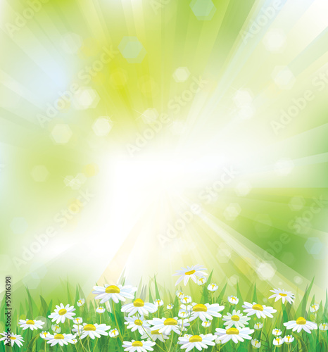 Vector spring background with white chamomiles.