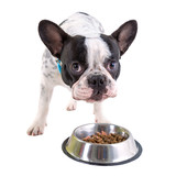 French bulldog eating dog food from his bowl