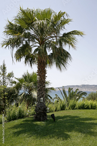 Palm tree in Porto Heli Greece