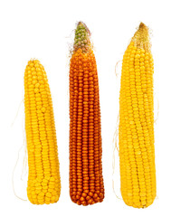 maize cobs isolated