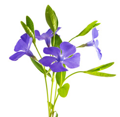 periwinkle flower isolated