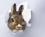 little rabbit looks through a hole in paper - Fine Art prints