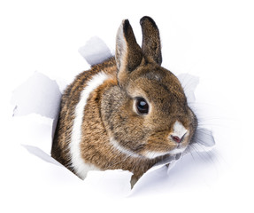 rabbit looks through a hole in paper