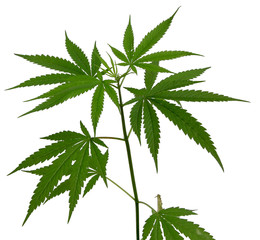 Young cannabis plant marijuana plant on white background