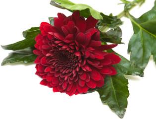 dark red chrysanthemum