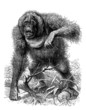 ������, ������: Threatening Monkey Singe mena