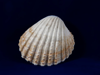 Common cockle (Cerastoderma edule)