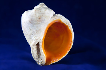 Veined rapa whelk (Rapana venosa) sea snail shell