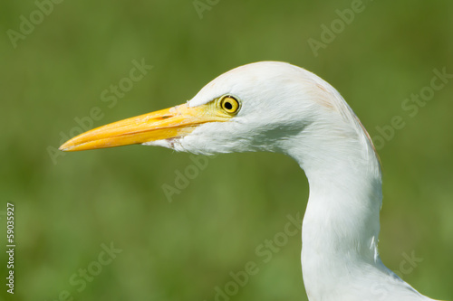 Head shot of a Cattle Egret