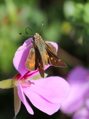 Skipper on a Geranium