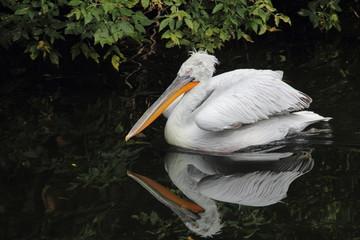Pelican.