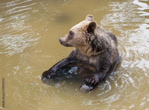 Brown bear (Ursus arctos arctos) sitting in water