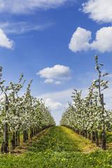 Obstbaumplantage bis zum Horizont - vertikal