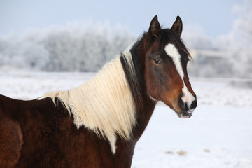 Young paint horse mare in winter