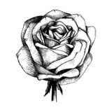 Engraved hand drawn illustrations of rose flower