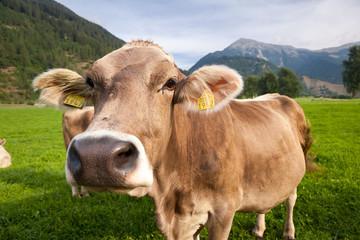 Mucca al pascolo, svizzera