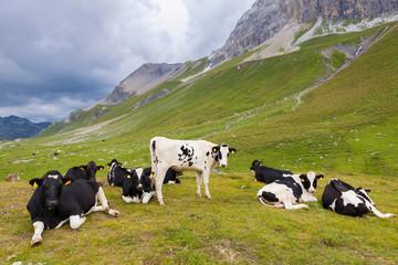 Mucche al pascolo, svizzera