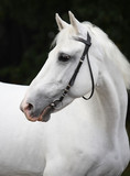White Lipizzaner horse with bridle