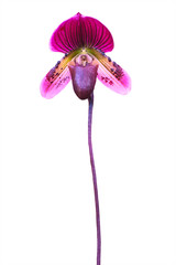 Lady's slipper orchid. Paphiopedilum Callosum isolated on white