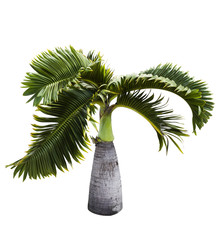 Bottle Palm tree