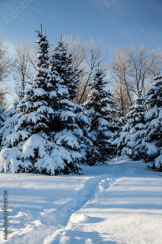Conifer trees covered with snow