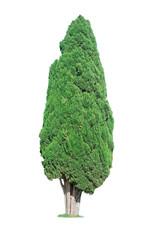 cypress on white